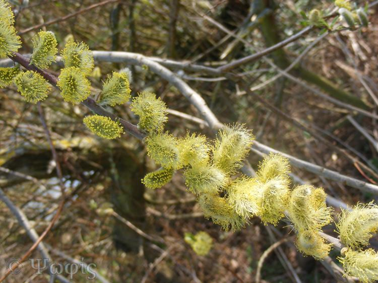 Pussy willow,catkins