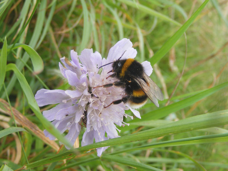 bee, scabious