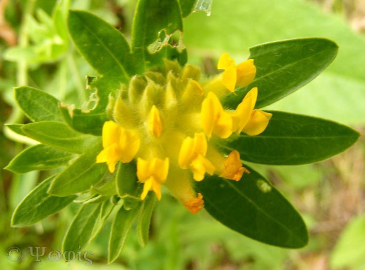 kidney vetch,Anthyllis vulneraria