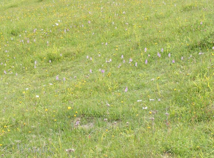 Common Spotted Orchid Meadow