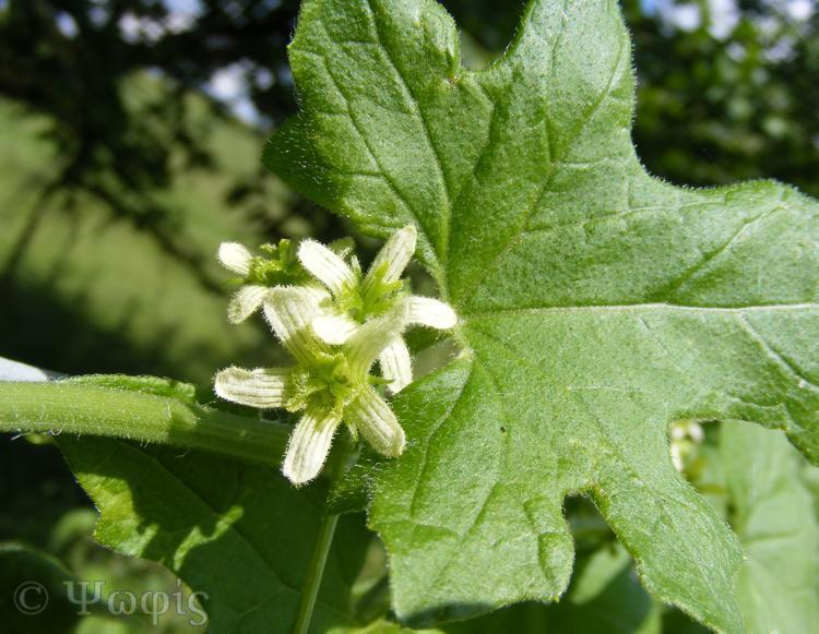 white bryony,Clematis vitalba