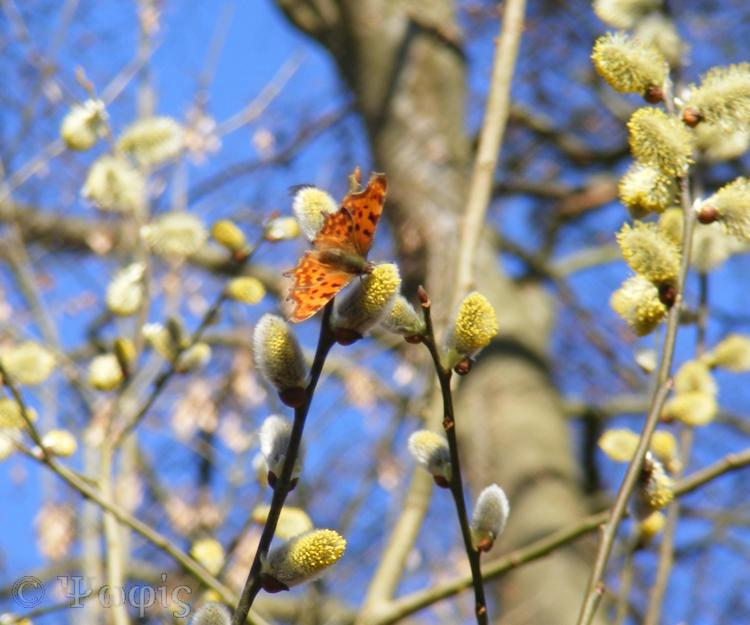 pussy willow,comma,butterfly