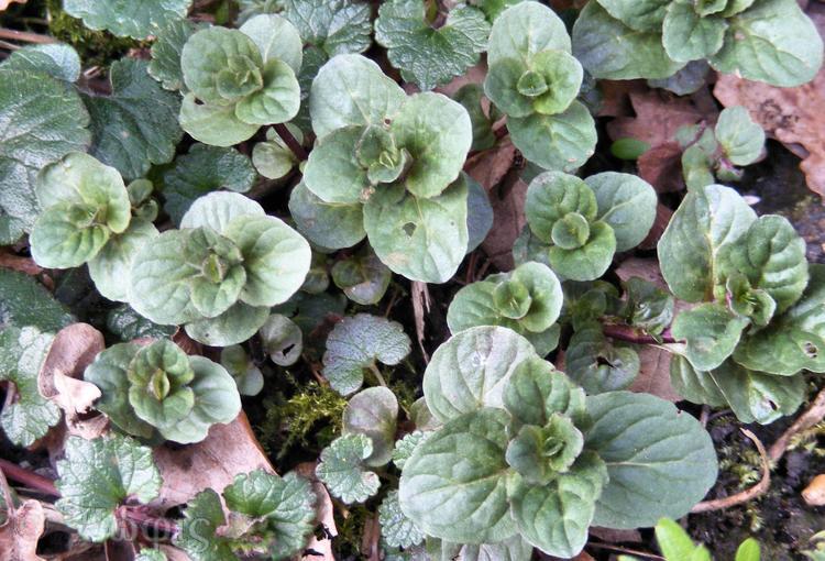 minty plant
