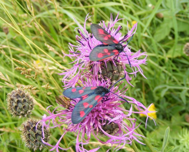 Burnet moth,Zygaena lonicerae