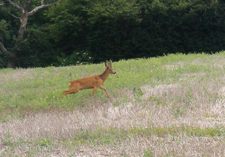 Roe deer,deer