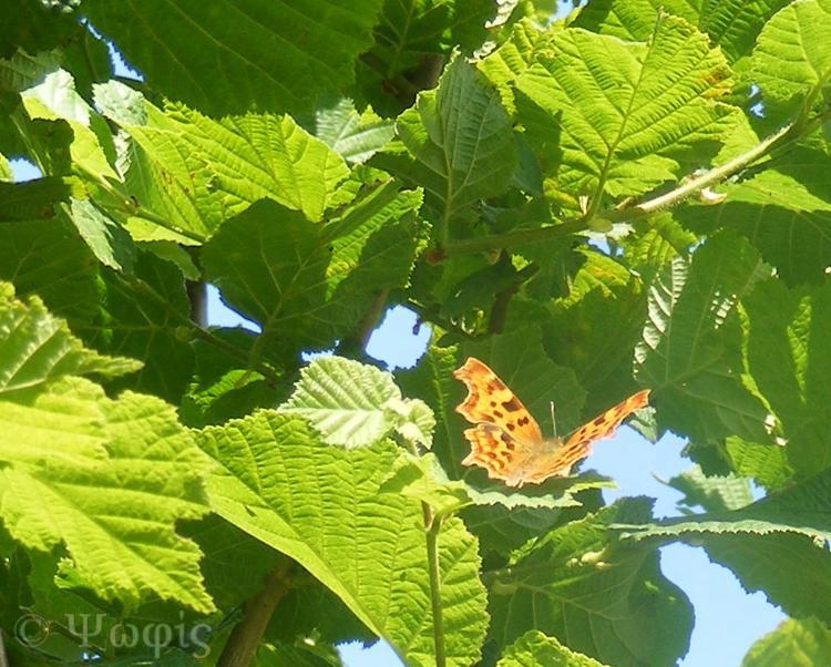 Comma butterfly,Polygonia c-album