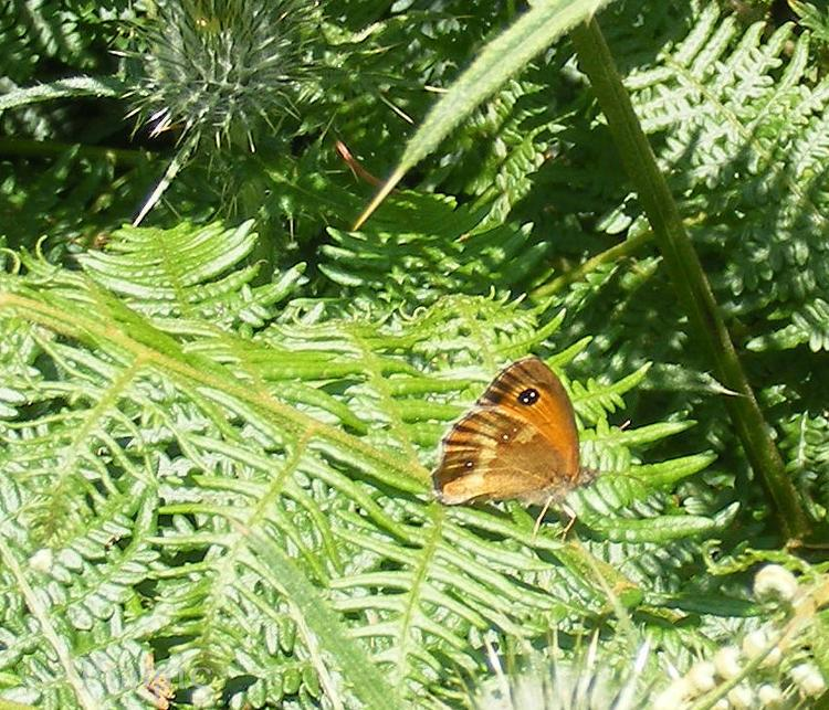Gatekeeper,butterfly,Pyronia tithonus