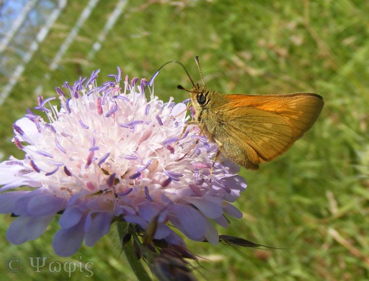 Large skipper,butterfly,Ochlodes faunus