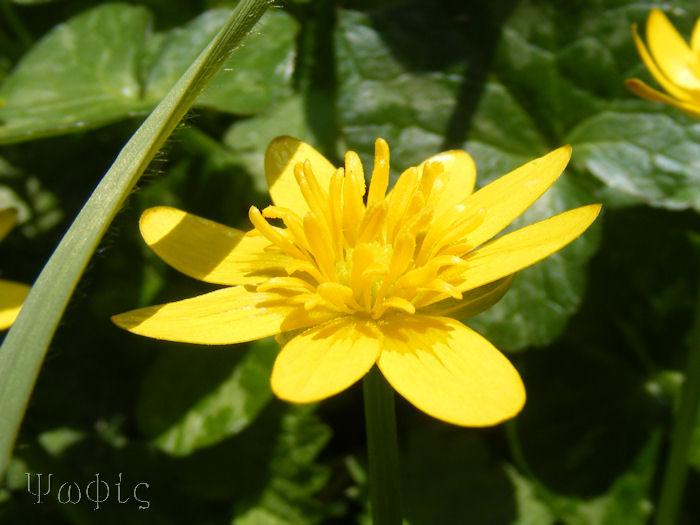 lesser celandine,Ranunculus ficaria