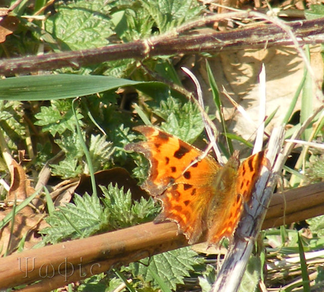 Comma,Polygonia c-album,butterfly