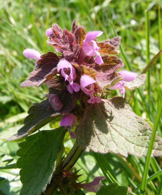 Red Deadnettle,Lamium purpureum