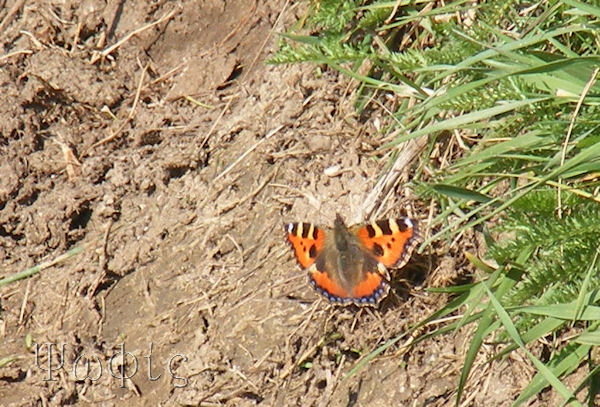 Small Tortoiseshell,Aglais urticae,butterfly