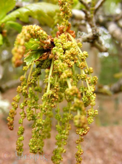 oak flower