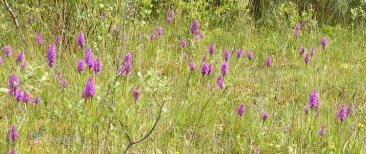 Southern Marsh Orchid,Dactylorhiza praetermissa