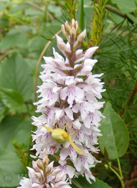 Common Spotted Orchid,Dactylorhiza fuchsii,Misumena vatia