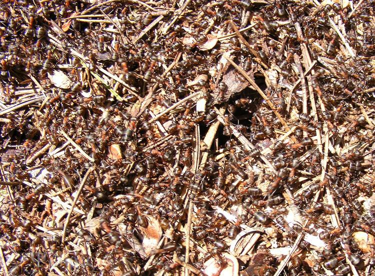 wood ant hill