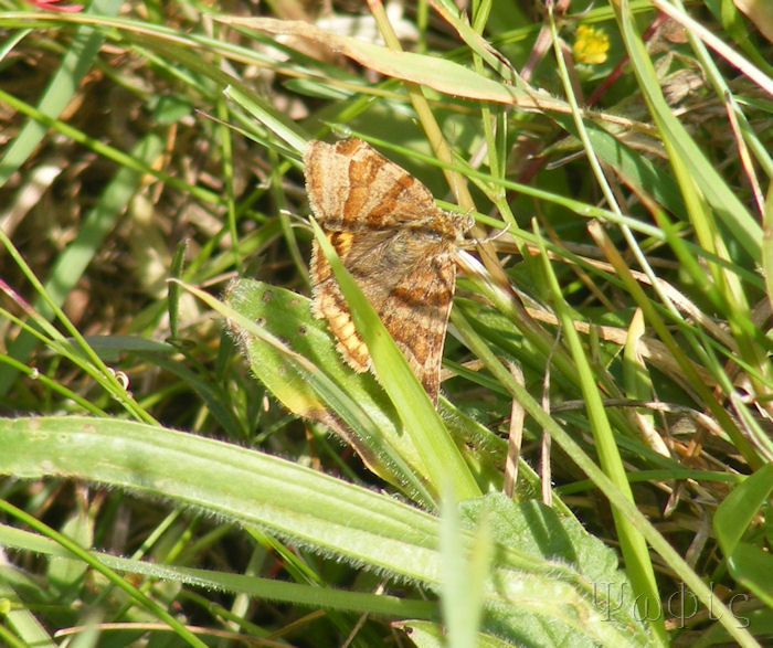 Burnet Campanion Moth,Euclidia glyphica