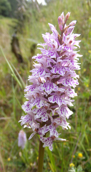 Common Spotted,Dactylorhiza fuchsii