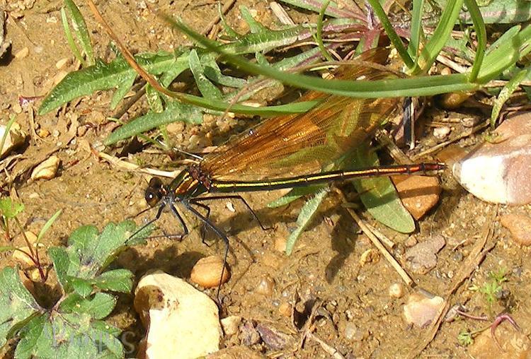 Banded Demoiselle,Calopteryx splendens