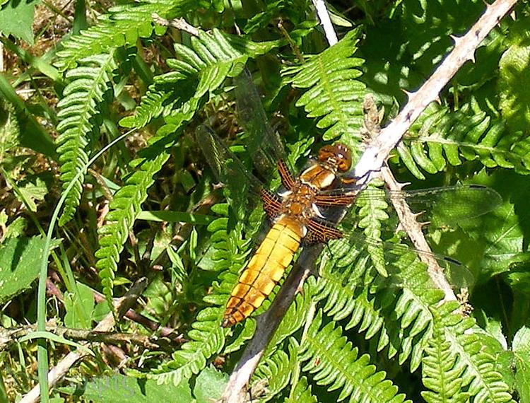 Broad-bodied Chaser,Libellula depressa