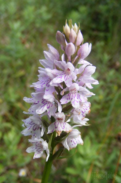 heath spotted ochid,Dactylorhiza maculata