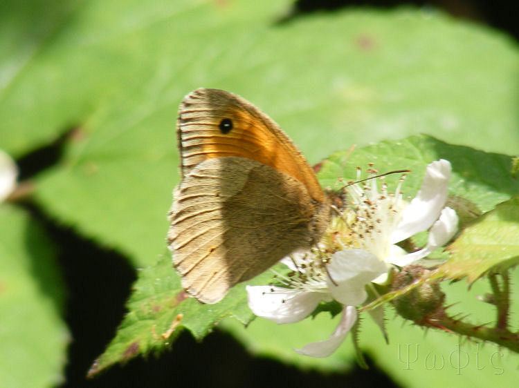 meadow brown,Maniola jurtina