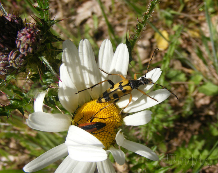 musk beetle,Rutpela maculata