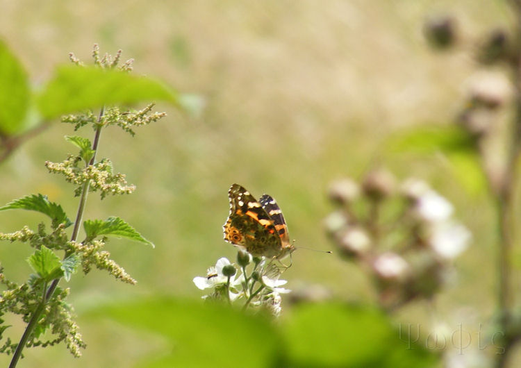 painted lady,Vanessa cardui