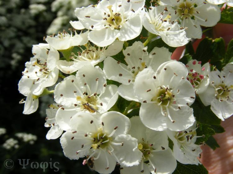 hawthorn,may blossom
