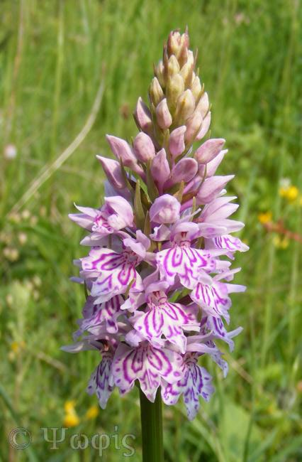 Common Spotted orchid,Dactylorhiza fuchsii