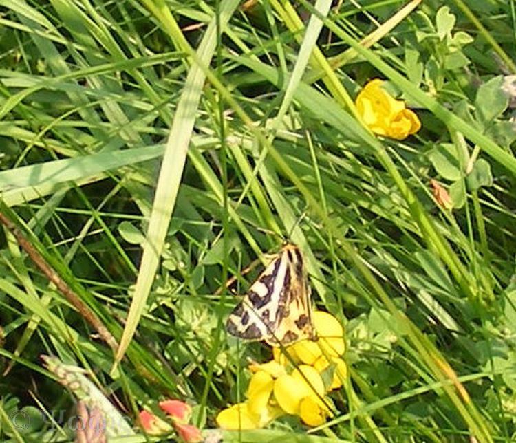 Tiger moth,Arctia caja
