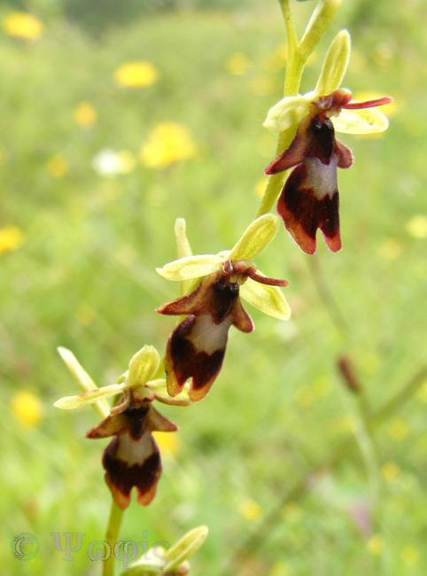 fly orchid,Ophrys insectifera