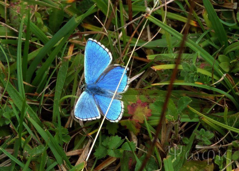 butterfly,Adonis Blue,Polyommatus bellargus