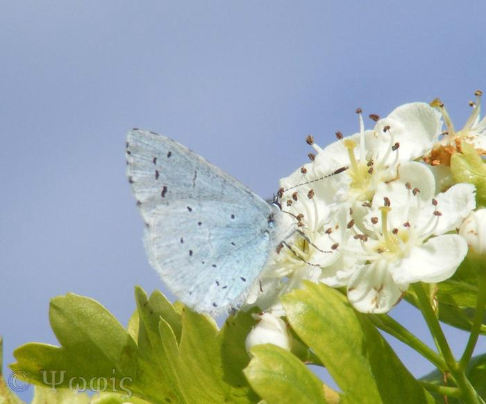 butterfly,holly blue,Celastrina argiolus
