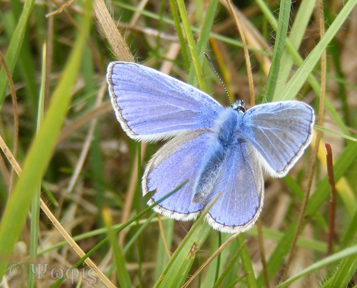 butterfly,common blue,Polyommatus icarus