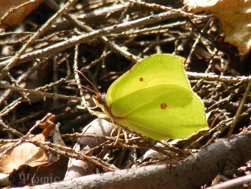 butterfly,brimstone,Gonepteryx rhammi