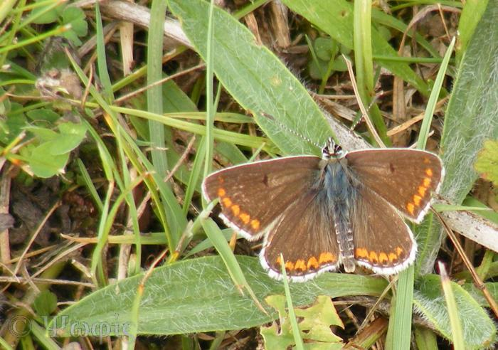 butterfly,brown argus,Aricia agestis