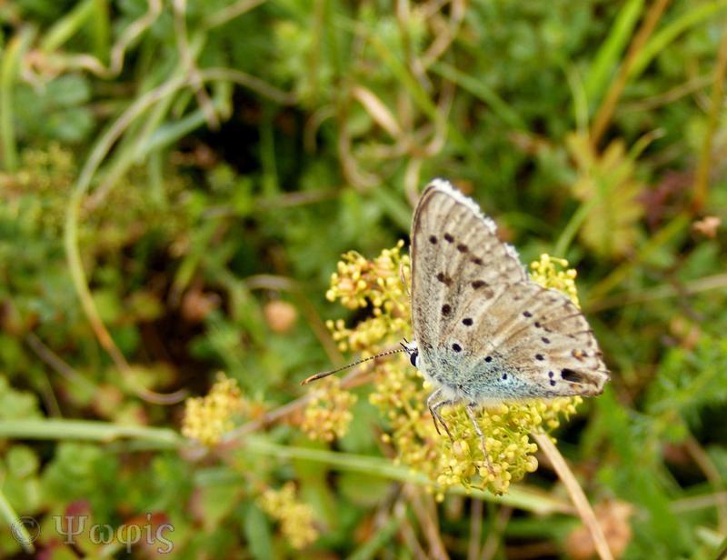 butterfly,Chalkhill Blue,Lysandra coridons