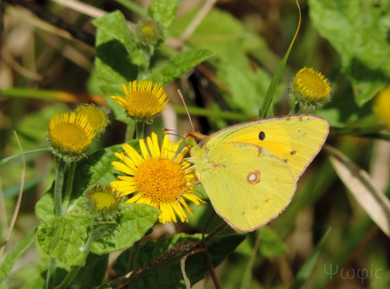 butterfly,Clouded Yellow,Colias croceus