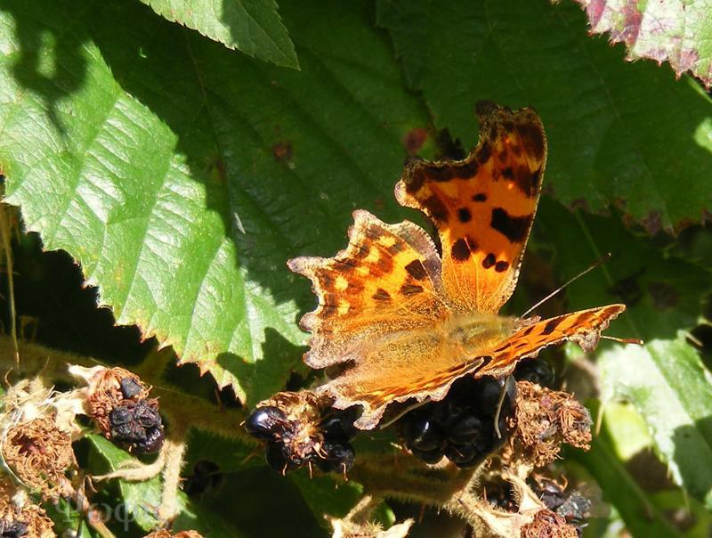 butterfly,comma butterfly,Polygonia c-album