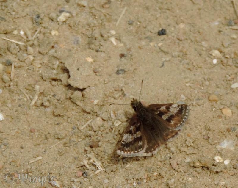 butterfly,Dingy Skipper,Eryninnis tages
