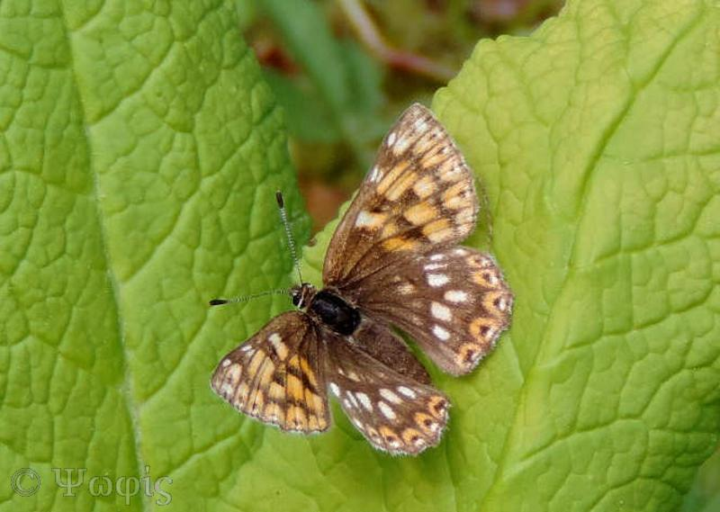 butterfly,Duke of Burgundy,Hamearis lucina