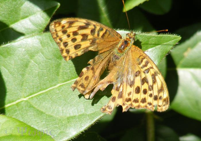 butterfly,silver-washed fritillary,Argynnis paphia
