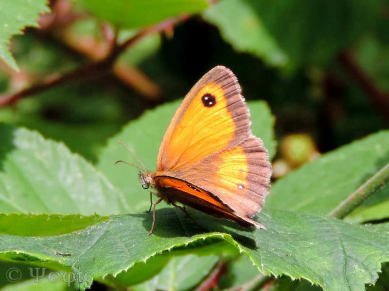 butterfly,gatekeeper,Pyronia tithonus