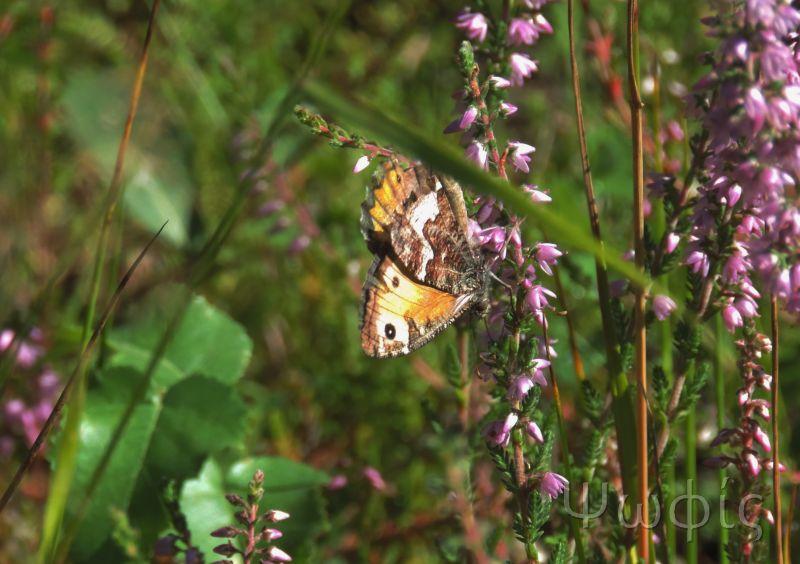 butterfly,gatekeeper,Grayling,Hipparchia semele