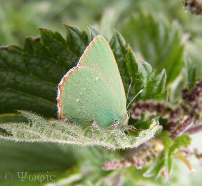 butterfly,green hairstreak,Callophrys rubi