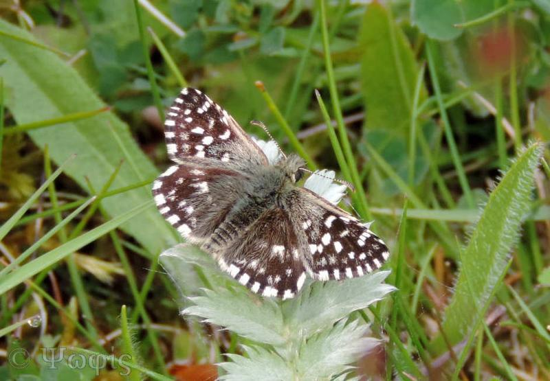 butterfly,Grizzled Skipper,Pyrgus malvaes