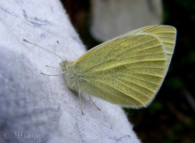 butterfly,large white caterpillar