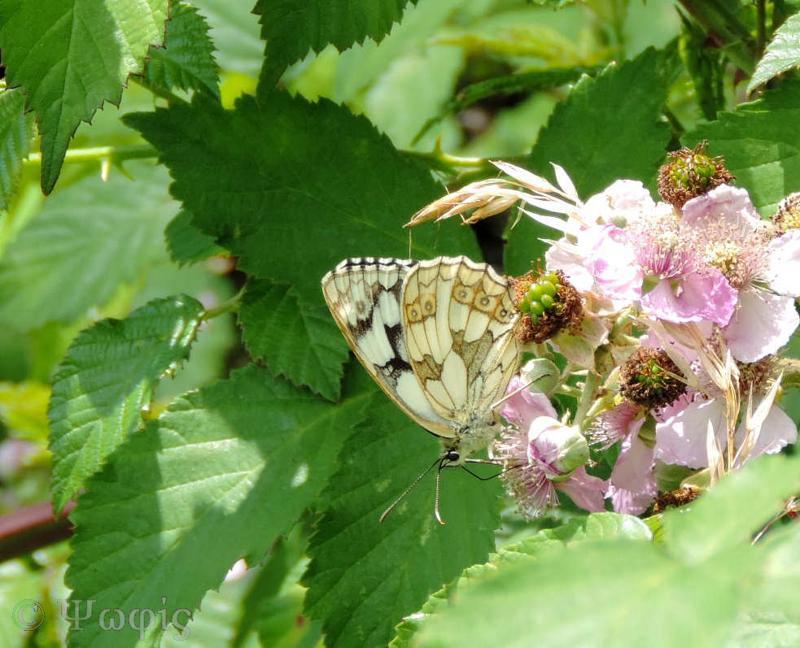 butterfly,marbled white,Melanargia galathea