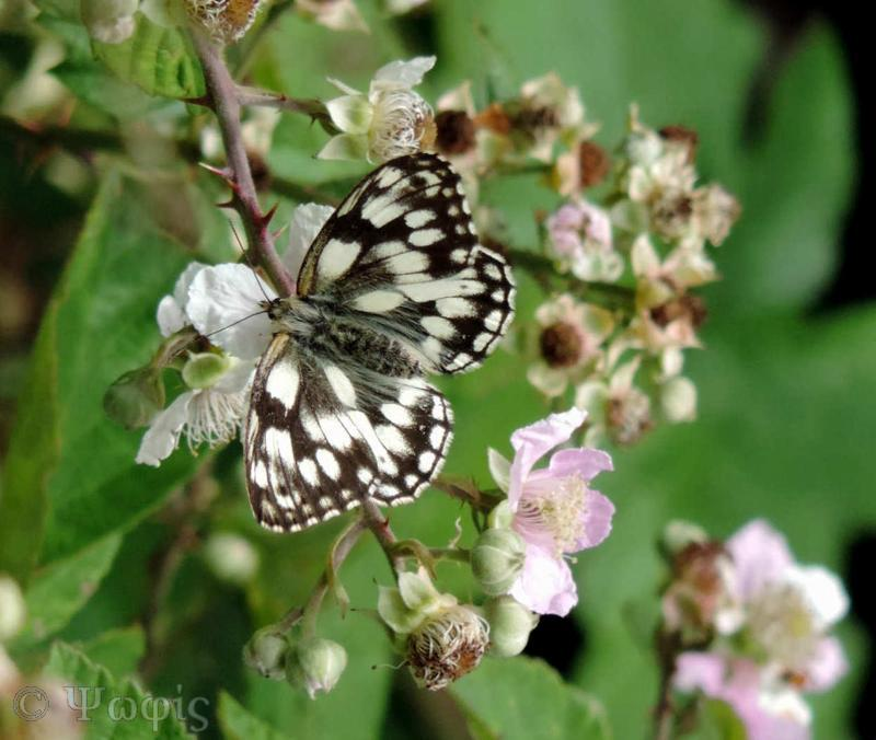 butterfly,marbled white